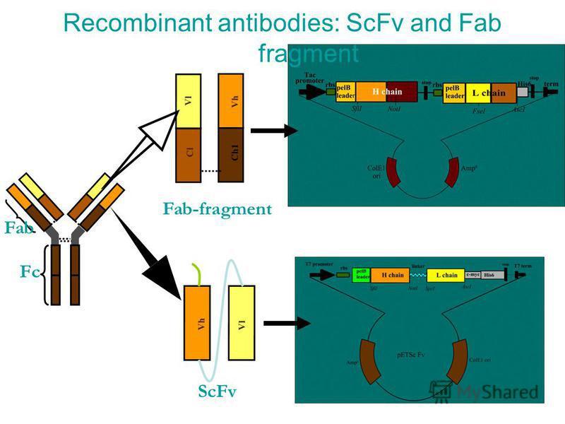 Recombinant antibodies: ScFv and Fab fragment Vl Cl Vh Ch1 Vl Vh ScFv Fab-fragment Fab Fc