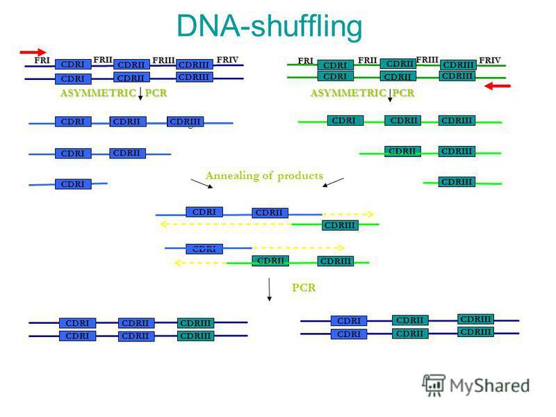 DNA-shuffling CDRIII CDRII CDRI CDRIII CDRII CDRI CDRIII CDRIICDRI CDRIII CDRII CDRIII FRI FRIIFRIIIFRIV CDRI CDRIICDRIII hg FRIFRIIFRIIIFRIV CDRI CDRII CDRIII CDRII CDRI CDRII CDRI CDRII CDRIII CDRI CDRII CDRIII CDRI CDRII CDRIII CDRI CDRIII CDRII A