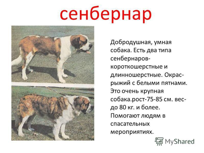 сенбернар Добродушная, умная собака. Есть два типа сенбернаров- короткошерстные и длинношерстные. Окрас- рыжий с белыми пятнами. Это очень крупная собака.рост-75-85 см. вес- до 80 кг. и более. Помогают людям в спасательных мероприятиях.