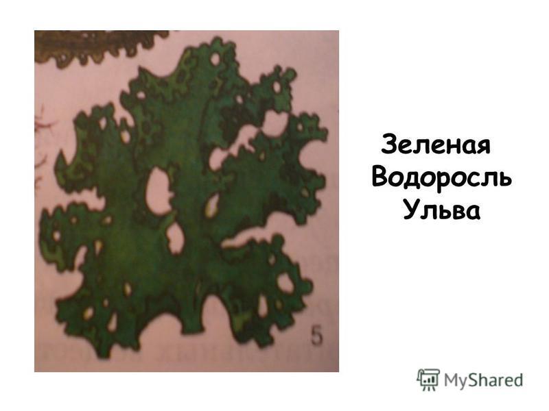 Зеленая Водоросль Ульва