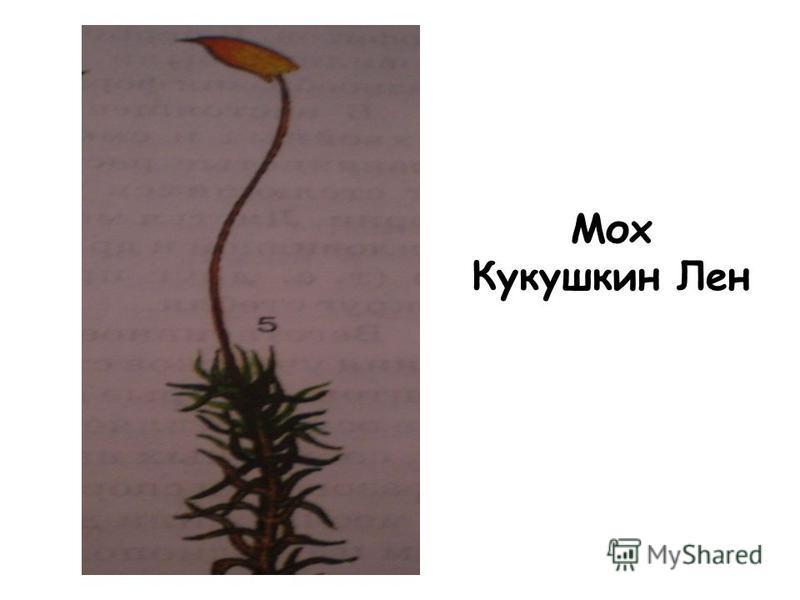 Мох Кукушкин Лен