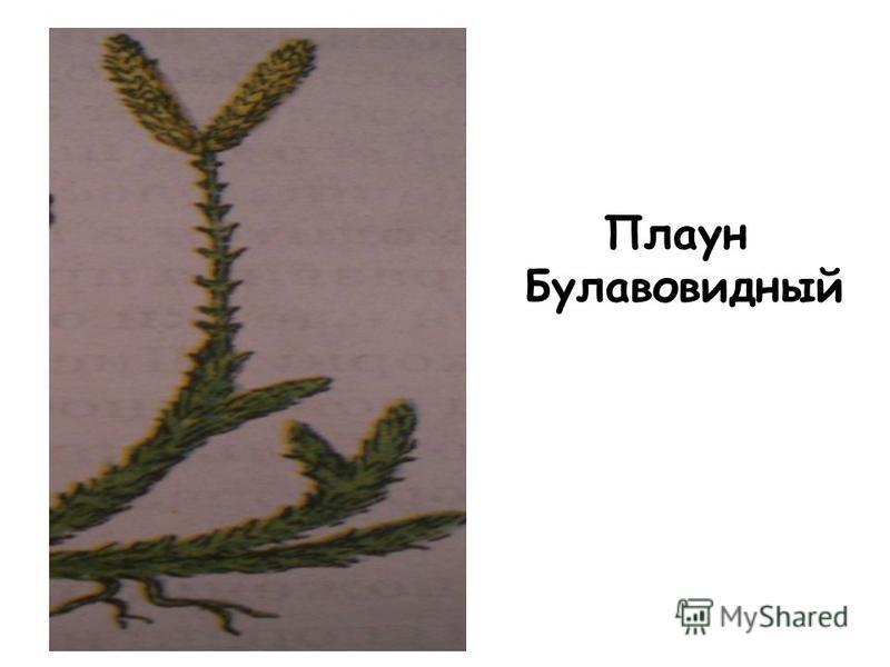 Плаун Булавовидный