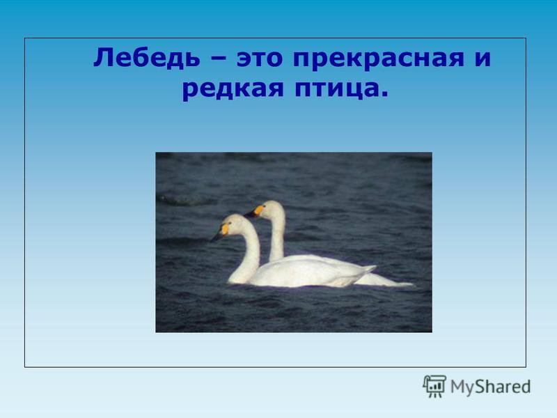 Лебедь – это прекрасная и редкая птица.