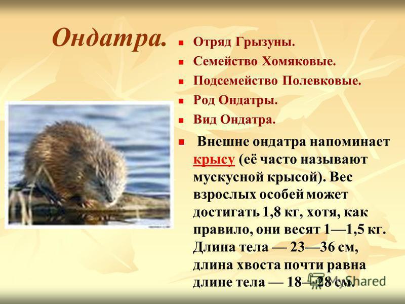 Ондатра. Отряд Грызуны. Семейство Хомяковые. Подсемейство Полевковые. Род Ондатры. Вид Ондатра. Внешне ондатра напоминает крысу (её часто называют мускусной крысой). Вес взрослых особей может достигать 1,8 кг, хотя, как правило, они весят 11,5 кг. Дл