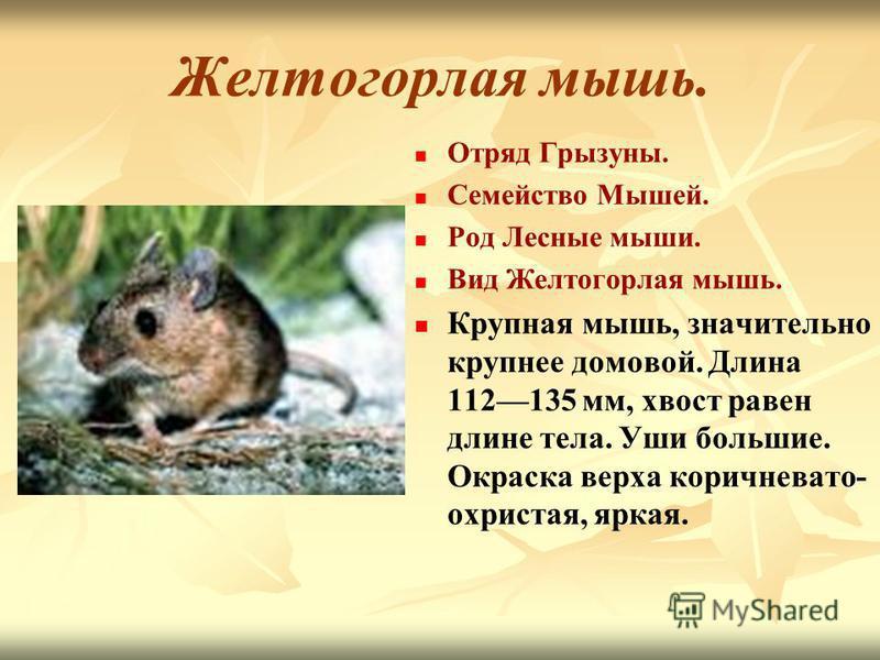 Желтогорлая мышь. Отряд Грызуны. Семейство Мышей. Род Лесные мыши. Вид Желтогорлая мышь. Крупная мышь, значительно крупнее домовой. Длина 112135 мм, хвост равен длине тела. Уши большие. Окраска верха коричневато- охристая, яркая.
