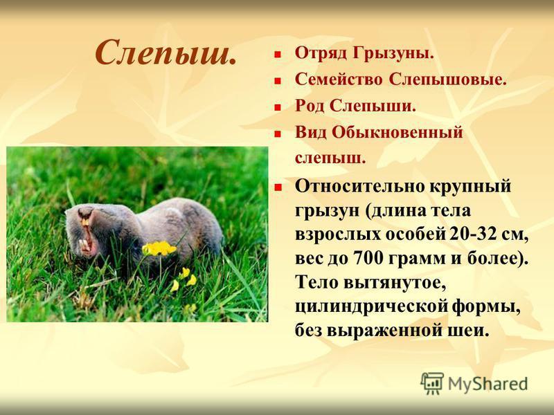 Слепыш. Отряд Грызуны. Семейство Слепышовые. Род Слепыши. Вид Обыкновенный слепыш. Относительно крупный грызун (длина тела взрослых особей 20-32 см, вес до 700 грамм и более). Тело вытянутое, цилиндрической формы, без выраженной шеи.