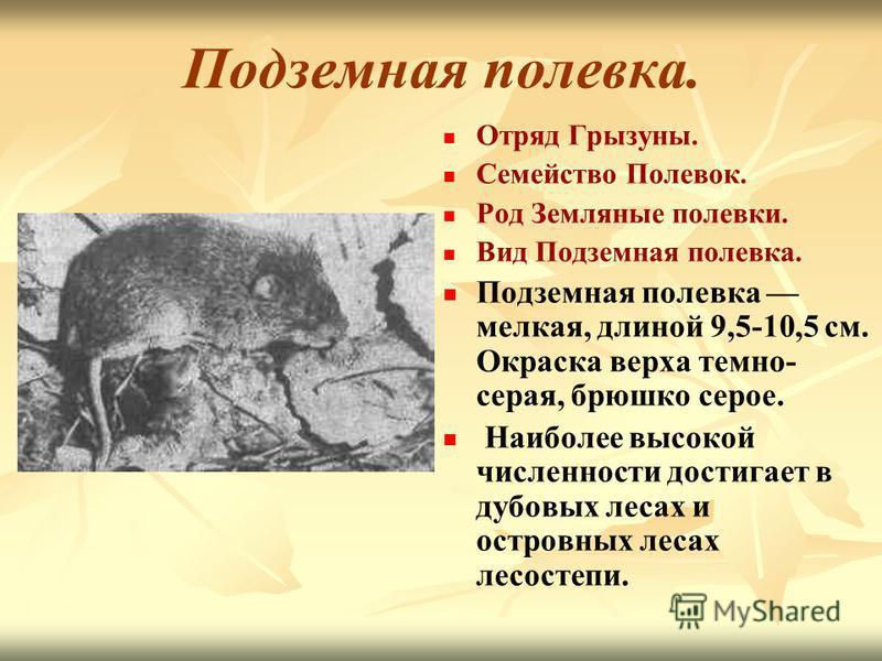 Подземная полевка. Отряд Грызуны. Семейство Полевок. Род Земляные полевки. Вид Подземная полевка. Подземная полевка мелкая, длиной 9,5-10,5 см. Окраска верха темно- серая, брюшко серое. Наиболее высокой численности достигает в дубовых лесах и островн