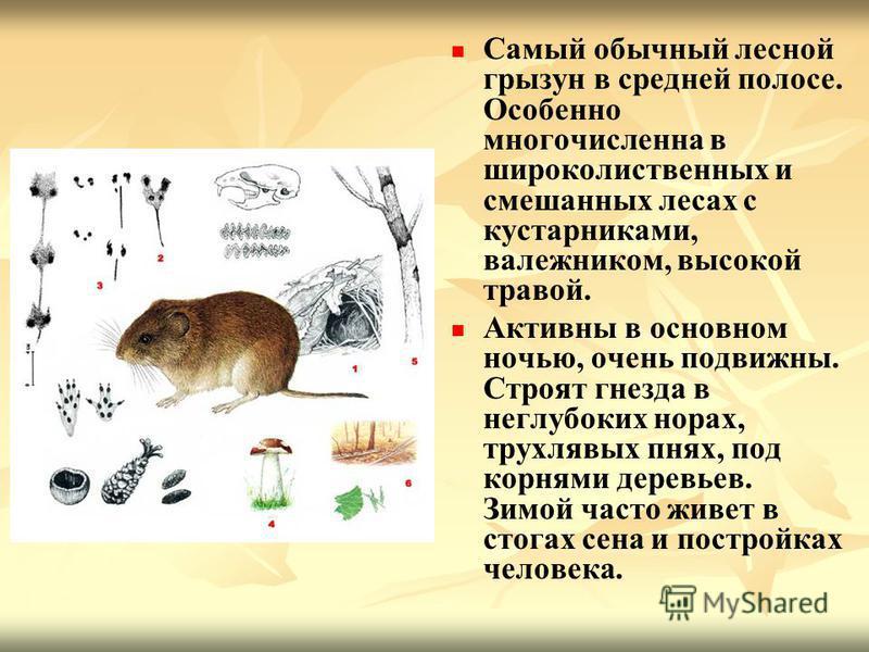 Самый обычный лесной грызун в средней полосе. Особенно многочисленна в широколиственных и смешанных лесах с кустарниками, валежником, высокой травой. Активны в основном ночью, очень подвижны. Строят гнезда в неглубоких норах, трухлявых пнях, под корн