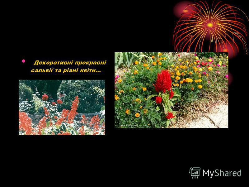 Декоративні прекрасні сальвії та різні квіти…