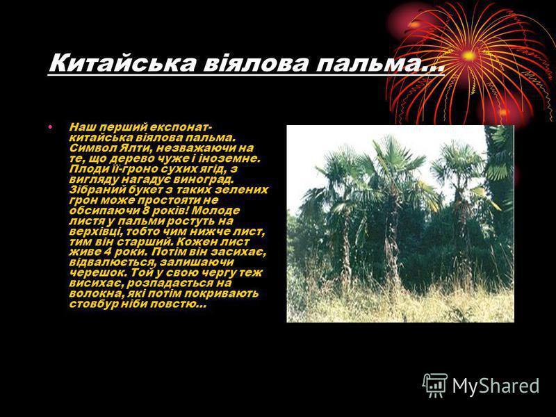 Китайська віялова пальма… Наш перший експонат- китайська віялова пальма. Символ Ялти, незважаючи на те, що дерево чуже і іноземне. Плоди її-гроно сухих ягід, з вигляду нагадує виноград. Зібраний букет з таких зелених грон може простояти не обсипаючи