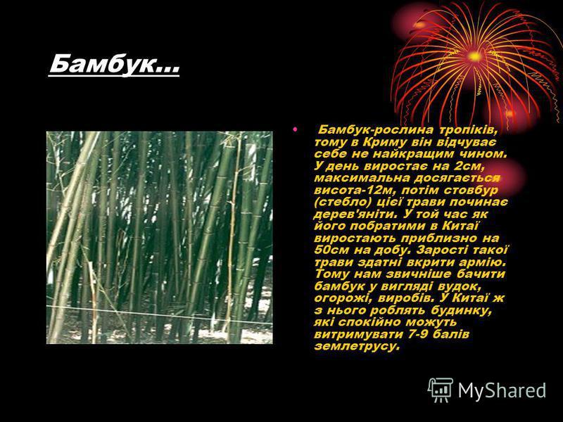 Бамбук… Бамбук-рослина тропіків, тому в Криму він відчуває себе не найкращим чином. У день виростає на 2см, максимальна досягається висота-12м, потім стовбур (стебло) цієї трави починає дерев'яніти. У той час як його побратими в Китаї виростають приб