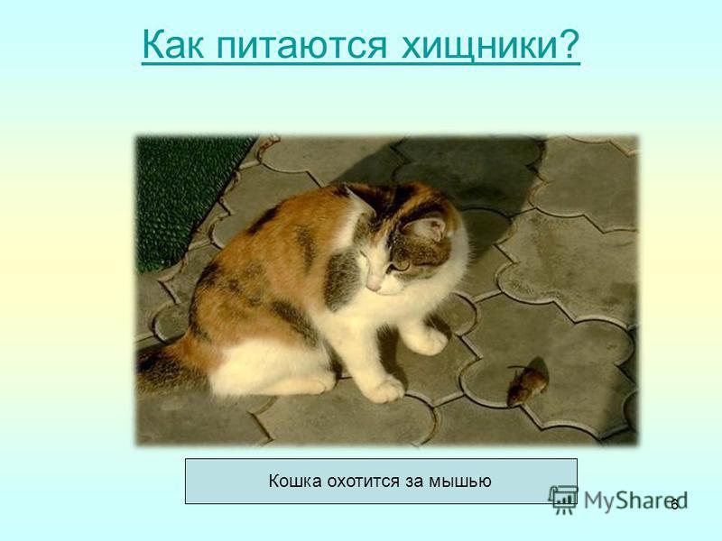 Как питаются хищники? Кошка охотится за мышью 6