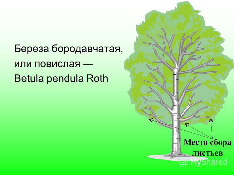 Береза бородавчатая, или повислая Betula pendula Roth