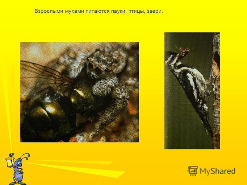 Взрослыми мухами питаются пауки, птицы, звери.