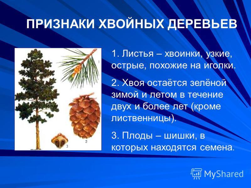ПРИЗНАКИ ХВОЙНЫХ ДЕРЕВЬЕВ 1. Листья – хвоинки, узкие, острые, похожие на иголки. 2. Хвоя остаётся зелёной зимой и летом в течение двух и более лет (кроме лиственницы). 3. Плоды – шишки, в которых находятся семена.