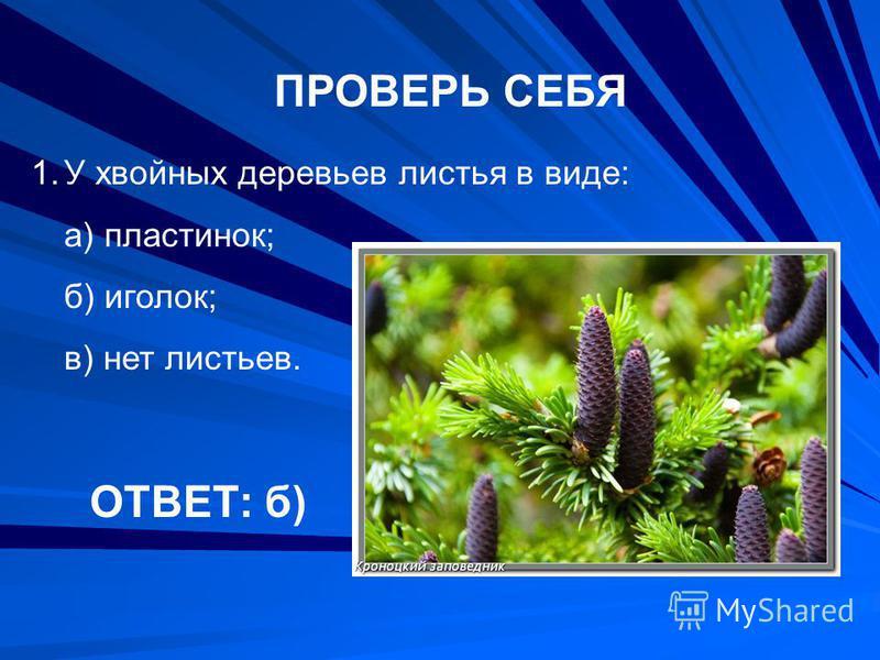 ПРОВЕРЬ СЕБЯ 1. У хвойных деревьев листья в виде: а) пластинок; б) иголок; в) нет листьев. ОТВЕТ: б)