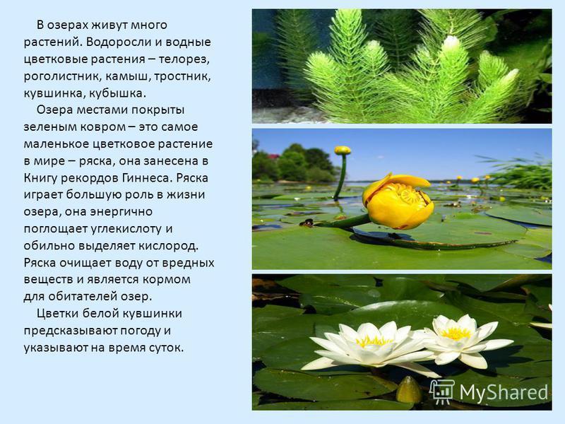 В озерах живут много растений. Водоросли и водные цветковые растения – телорез, роголистник, камыш, тростник, кувшинка, кубышка. Озера местами покрыты зеленым ковром – это самое маленькое цветковое растение в мире – ряска, она занесена в Книгу рекорд