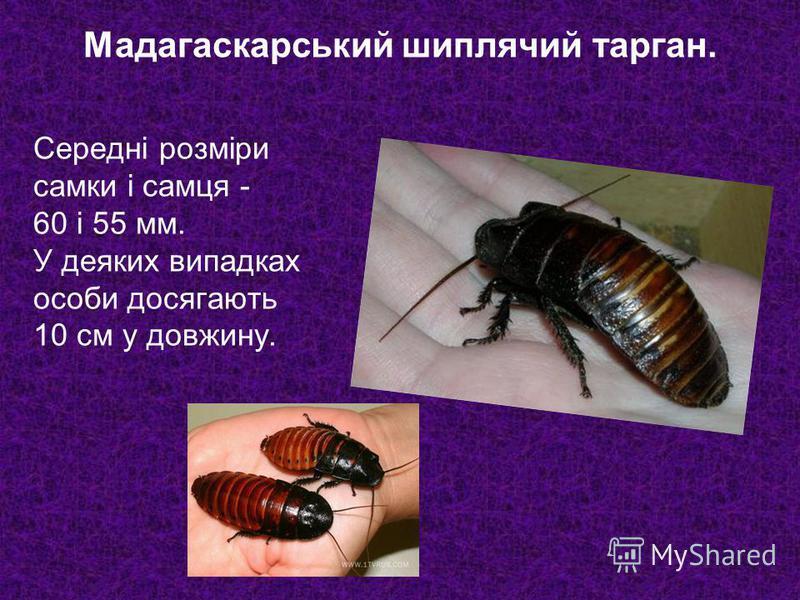 Середні розміри самки і самця - 60 і 55 мм. У деяких випадках особи досягають 10 см у довжину. Мадагаскарський шиплячий тарган.