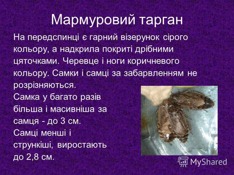 Мармуровий тарган На передспинці є гарний візерунок сірого кольору, а надкрила покриті дрібними цяточками. Черевце і ноги коричневого кольору. Самки і самці за забарвленням не розрізняються. Самка у багато разів більша і масивніша за самця - до 3 см.