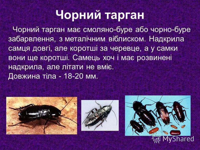 Чорний тарган має смоляно-буре або чорно-буре забарвлення, з металічним віблиском. Надкрила самця довгі, але коротші за черевце, а у самки вони ще коротші. Самець хоч і має розвинені надкрила, але літати не вміє. Довжина тіла - 18-20 мм. Чорний тарга
