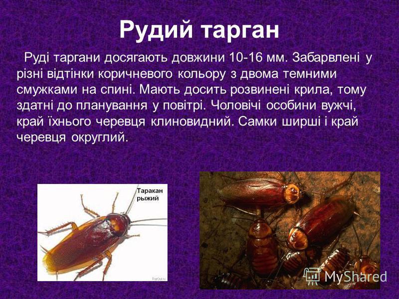 Рудий тарган Руді таргани досягають довжини 10-16 мм. Забарвлені у різні відтінки коричневого кольору з двома темними смужками на спині. Мають досить розвинені крила, тому здатні до планування у повітрі. Чоловічі особини вужчі, край їхнього черевця к