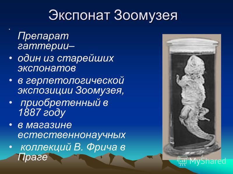 Экспонат Зоомузея Препарат гаттерии– один из старейших экспонатов в герпетологической экспозиции Зоомузея, приобретенный в 1887 году в магазине естественнонаучных коллекций В. Фрича в Праге