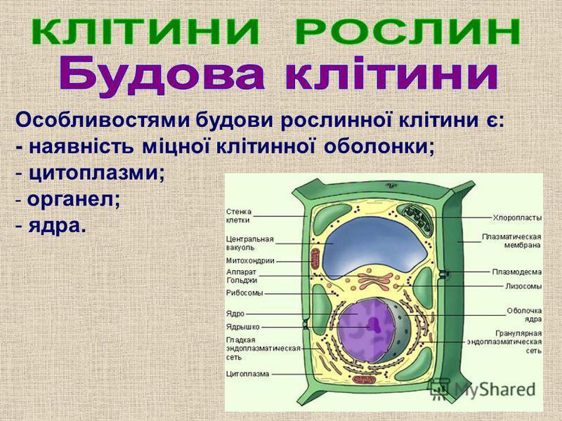 Особливостями будови рослинної клітини є: - наявність міцної клітинної оболонки; - цитоплазми; - органел; - ядра.