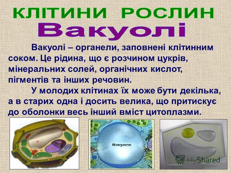 Вакуолі – органели, заповнені клітинним соком. Це рідина, що є розчином цукрів, мінеральних солей, органічних кислот, пігментів та інших речовин. У молодих клітинах їх може бути декілька, а в старих одна і досить велика, що притискує до оболонки весь