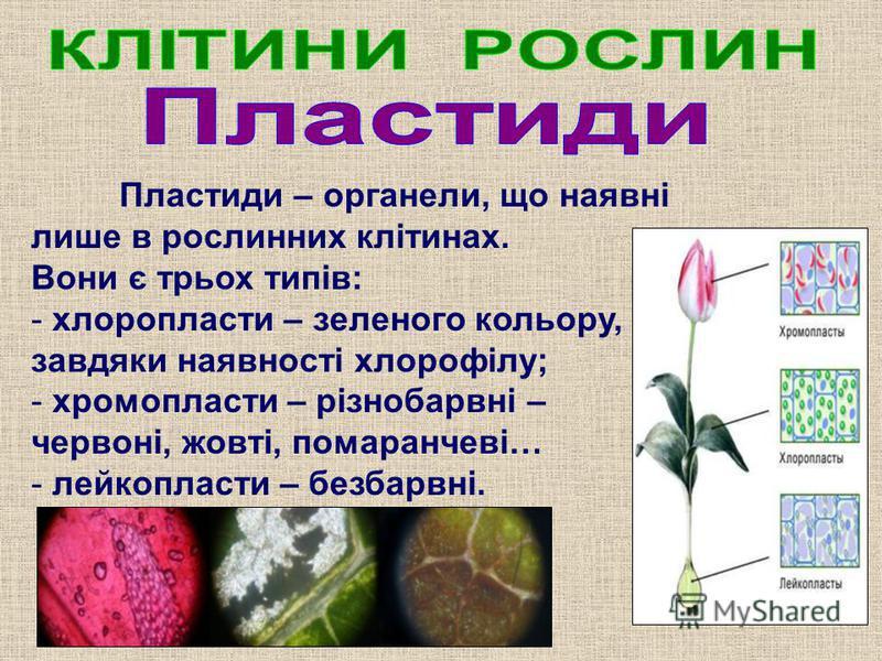 Пластиди – органели, що наявні лише в рослинних клітинах. Вони є трьох типів: - хлоропласти – зеленого кольору, завдяки наявності хлорофілу; - хромопласти – різнобарвні – червоні, жовті, помаранчеві… - лейкопласти – безбарвні.