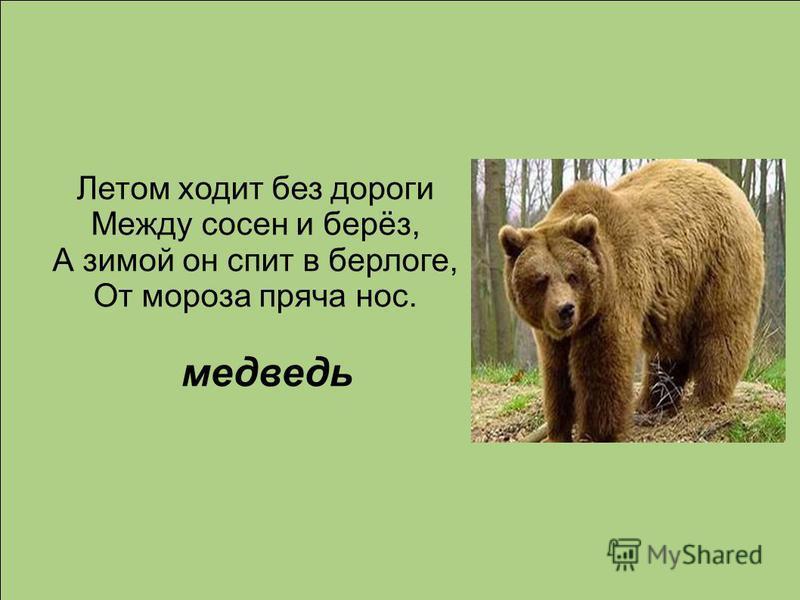 Летом ходит без дороги Между сосен и берёз, А зимой он спит в берлоге, От мороза пряча нос. медведь