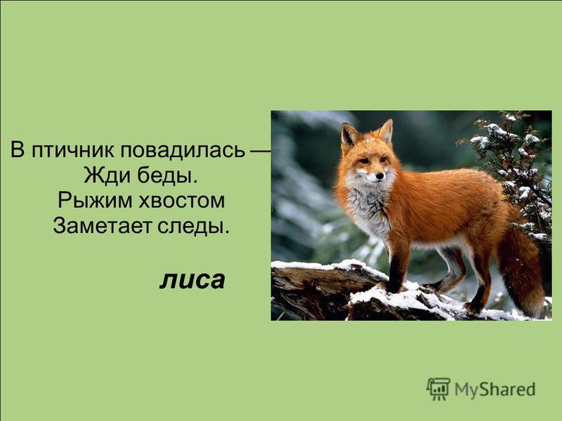 В птичник повадилась Жди беды. Рыжим хвостом Заметает следы. лиса