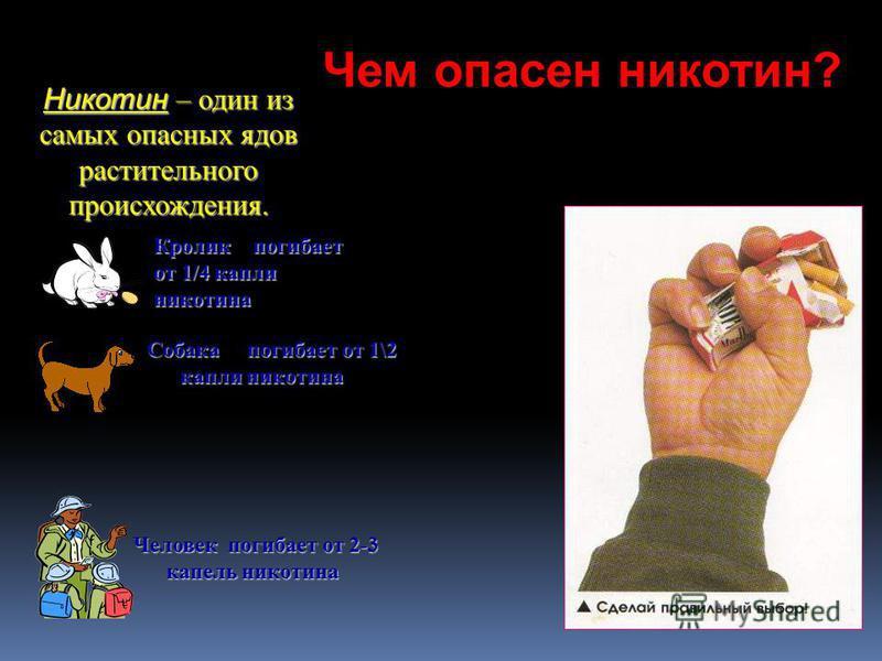 Никотин – один из самых опасных ядов растительного происхождения. Кролик погибает от 1/4 капли никотина Собака погибает от 1\2 капли никотина Человек погибает от 2-3 капель никотина Чем опасен никотин?