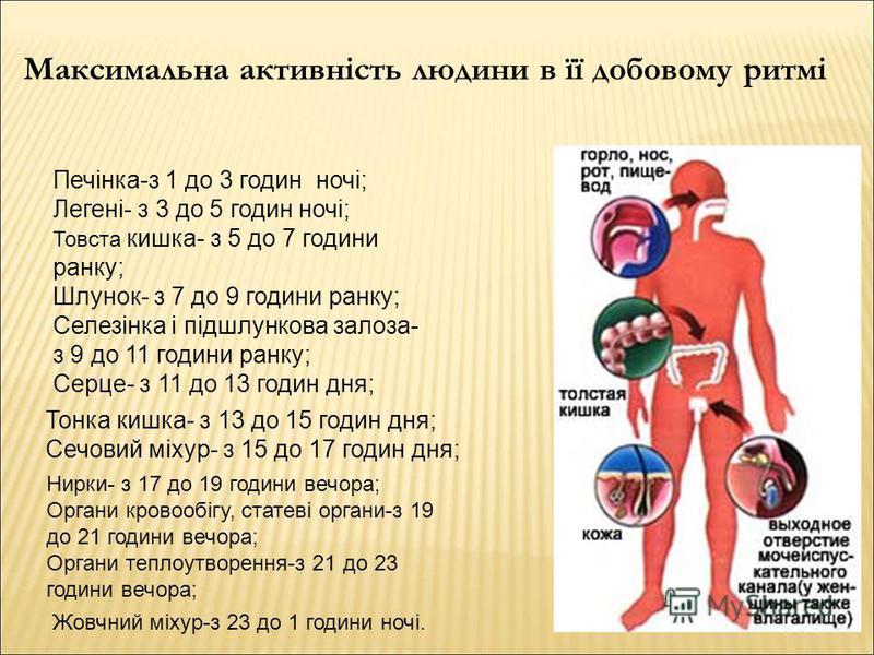 Максимальна активність людини в її добовому ритмі Печінка-з 1 до 3 годин ночі; Легені- з 3 до 5 годин ночі; Товста кишка- з 5 до 7 години ранку; Шлунок- з 7 до 9 години ранку; Селезінка і підшлункова залоза- з 9 до 11 години ранку; Серце- з 11 до 13