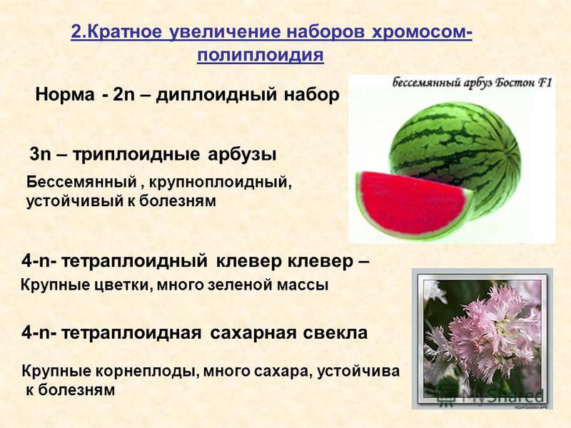 2. Кратное увеличение наборов хромосом- полиплоидия Норма - 2n – диплоидный набор 3n – триплоидные арбузы Бессемянный, крупноплоидный, устойчивый к болезням 4-n- тетраплоидный клевер клевер – Крупные корнеплоды, много сахара, устойчива к болезням 4-n