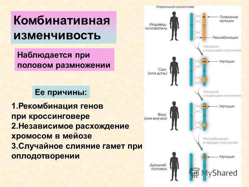 Комбинативная изменчивость Наблюдается при половом размножении Ее причины: 1. Рекомбинация генов при кроссинговере 2. Независимое расхождение хромосом в мейозе 3. Случайное слияние гамет при оплодотворении