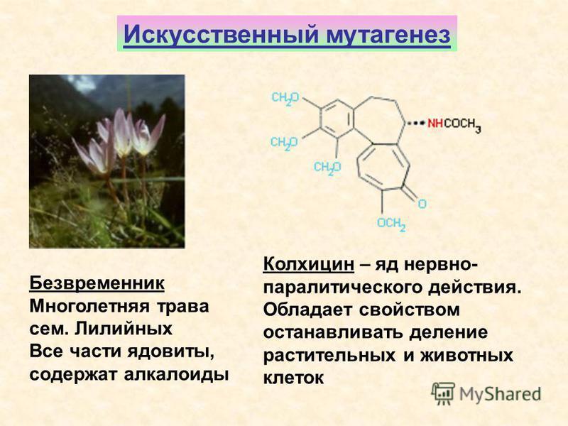 Искусственный мутагенез Безвременник Многолетняя трава сем. Лилийных Все части ядовиты, содержат алкалоиды Колхицин – яд нервно- паралитического действия. Обладает свойством останавливать деление растительных и животных клеток