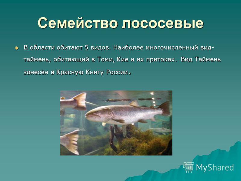 Семейство лососевые В области обитают 5 видов. Наиболее многочисленный вид- таймень, обитающий в Томи, Кие и их притоках. Вид Таймень занесён в Красную Книгу России. В области обитают 5 видов. Наиболее многочисленный вид- таймень, обитающий в Томи, К