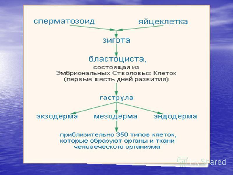 схема развития организма