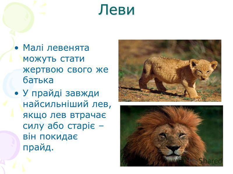 Леви Малі левенята можуть стати жертвою свого же батька У прайді завжди найсильніший лев, якщо лев втрачає силу або старіє – він покидає прайд.