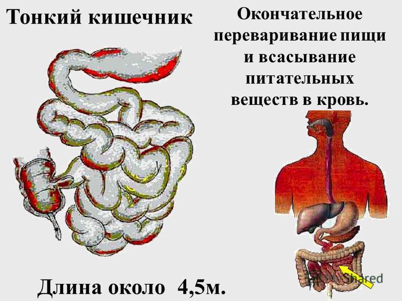 Белки пищи Пищеварительный канал рот, глотка, пищевод Пищеварительный канал рот, глотка, пищевод Желудок Тонкий кишечник Фермент пепсин в желудке Фермент трипсин в тонком кишечнике
