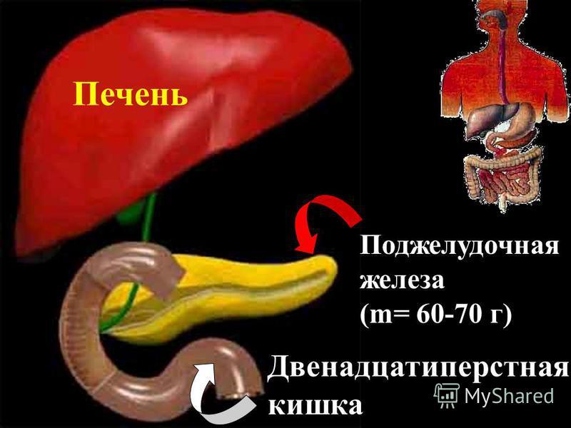 Окончательное переваривание пищи и всасывание питательных веществ в кровь. Тонкий кишечник Длина около 4,5 м.