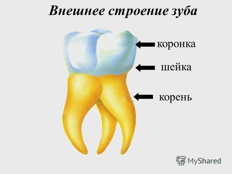 Зубы взрослого человека Человек к 20 годам имеет в норме все 32 постоянных зуба (включая зубы мудрости) 25% людей вообще не имеют зубов мудрости
