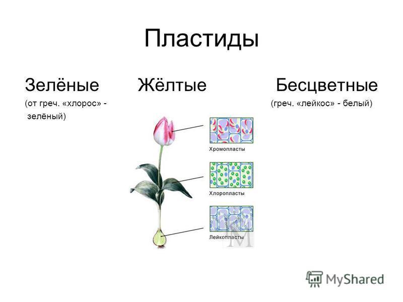 Пластиды Зелёные Жёлтые Бесцветные (от греч. «хлороз» - (греч. «лейкоз» - белый) зелёный)