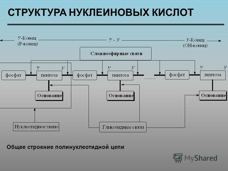 СТРУКТУРА НУКЛЕИНОВЫХ КИСЛОТ Общее строение полинуклеотидной цепи
