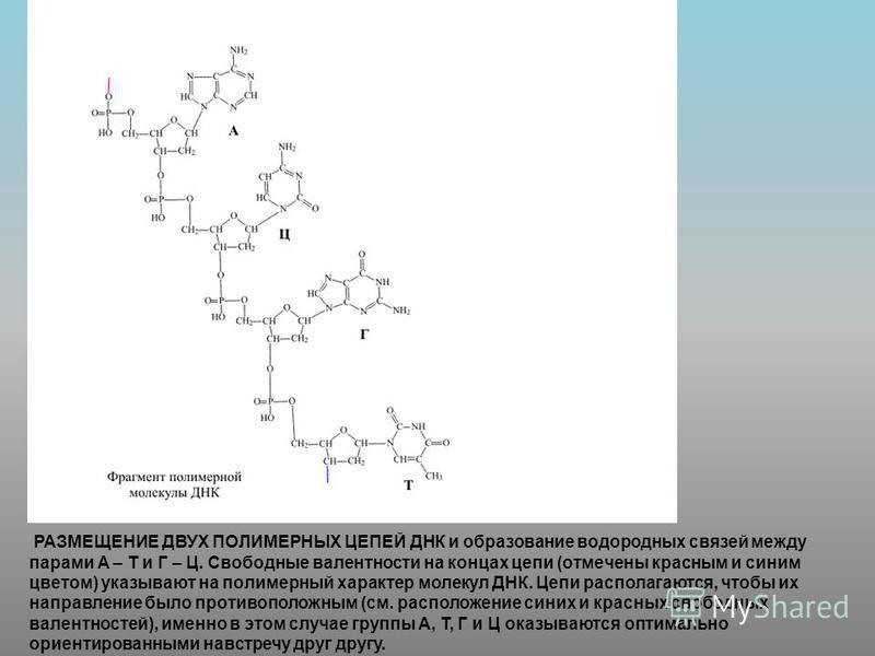 РАЗМЕЩЕНИЕ ДВУХ ПОЛИМЕРНЫХ ЦЕПЕЙ ДНК и образование водородных связей между парами А – Т и Г – Ц. Свободные валентности на концах цепи (отмечены красным и синим цветом) указывают на полимерный характер молекул ДНК. Цепи располагаются, чтобы их направл
