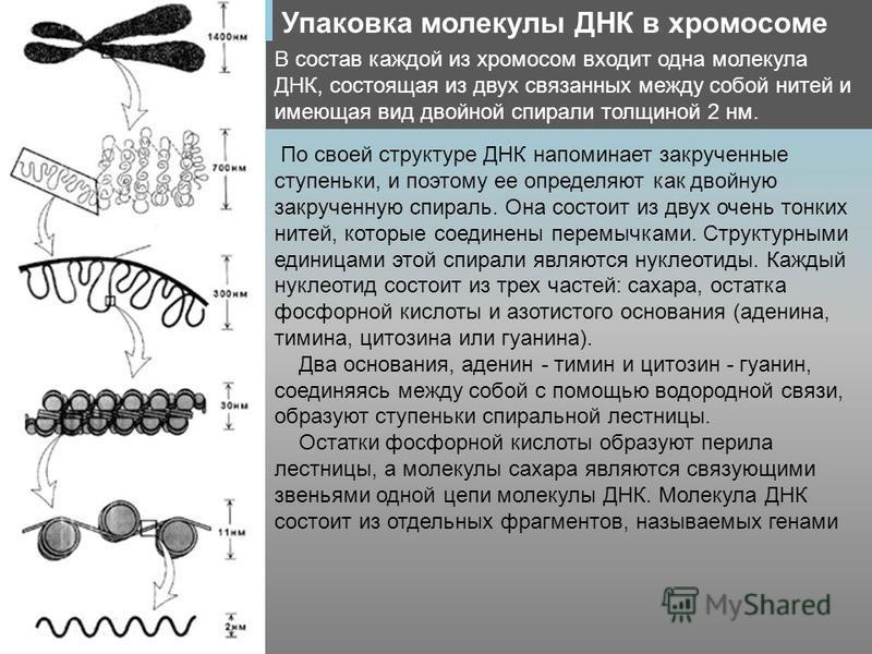 Упаковка молекулы ДНК в хромосоме В состав каждой из хромосом входит одна молекула ДНК, состоящая из двух связанных между собой нитей и имеющая вид двойной спирали толщиной 2 нм. По своей структуре ДНК напоминает закрученные ступеньки, и поэтому ее о