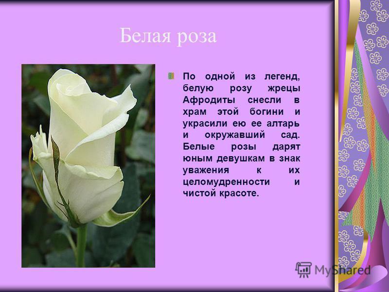 Белая роза По одной из легенд, белую розу жрецы Афродиты снесли в храм этой богини и украсили ею ее алтарь и окружавший сад. Белые розы дарят юным девушкам в знак уважения к их целомудренности и чистой красоте.