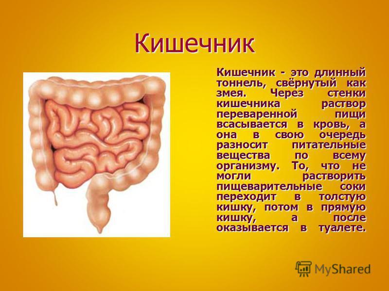 Кишечник Кишечник - это длинный тоннель, свёрнутый как змея. Через стенки кишечника раствор переваренной пищи всасывается в кровь, а она в свою очередь разносит питательные вещества по всему организму. То, что не могли растворить пищеварительные соки