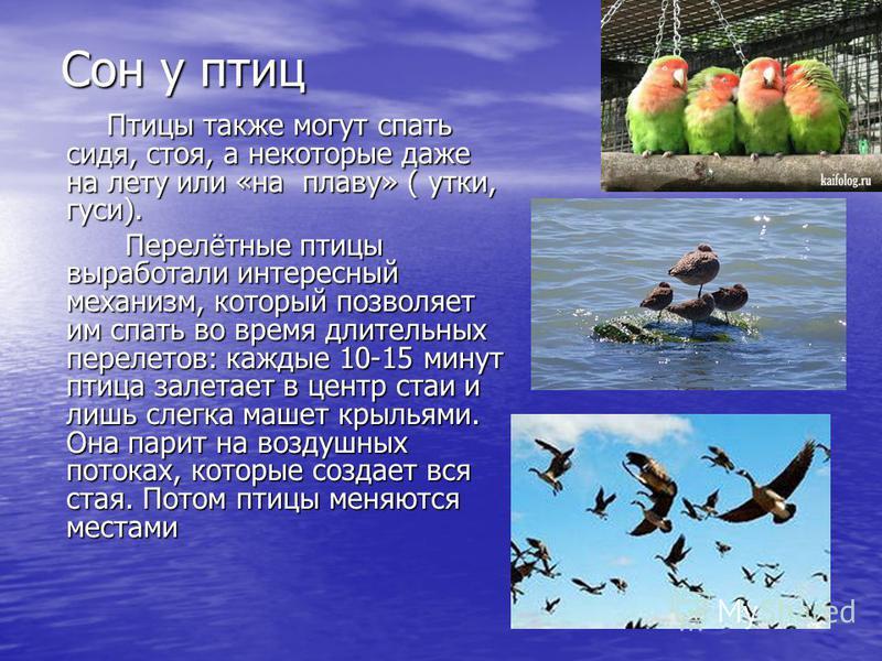 Сон у птиц Птицы также могут спать сидя, стоя, а некоторые даже на лету или «на плаву» ( утки, гуси). Птицы также могут спать сидя, стоя, а некоторые даже на лету или «на плаву» ( утки, гуси). Перелётные птицы выработали интересный механизм, который