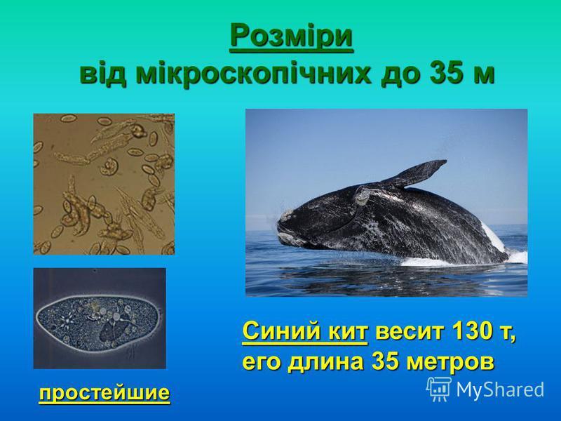 Розміри від мікроскопічних до 35 м Розміри від мікроскопічних до 35 м простейшие Синий кит весит 130 т, его длина 35 метров